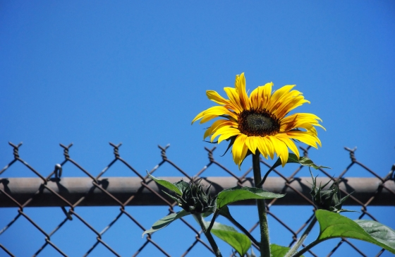 Sunflower on fence